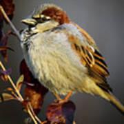 House Sparrow 1 Art Print