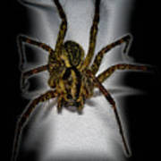House Spider Art Print