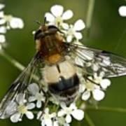 Hoverfly Leucozona Lucorum Art Print