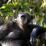 Howling Chimpanzee Art Print