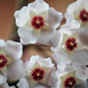 Hoya Bella Bloom Art Print