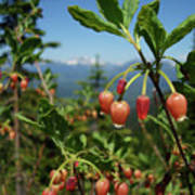 Huckleberry Flowers Atop Huckleberry Mountain In Glacier National Park Montana Art Print