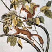 Hudsons Bay Squirrel Art Print