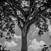 Huge Tree 12 Art Print