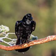 Huginn The Raven Art Print