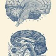 Human Brain - Central Nervous System - Vintage Anatomy Print Art Print