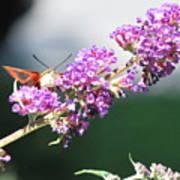 Humming Bird Moth Art Print