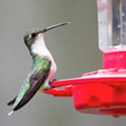 Hummingbird 33 Art Print