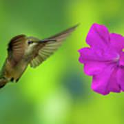 Hummingbird And Flower Art Print
