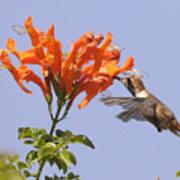 Hummingbird And Honeysuckle Art Print