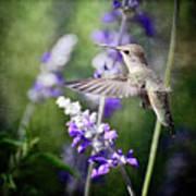 Hummingbird And Purple Lupine  Art Print