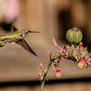 Hummingbird And Red Yucca Art Print