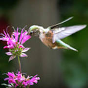 Hummingbird Beauty Art Print