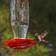 Hummingbird Coming For Dinner Art Print