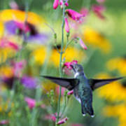 Hummingbird Dance Art Print by Dana Moyer