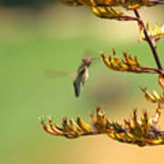 Hummingbird Drinking Nectar Art Print