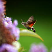 Hummingbird Hawk Moth - Four Art Print