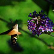 Hummingbird Hawk Moth 2 Art Print