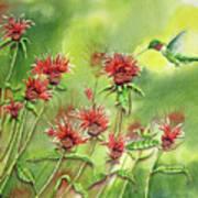 Hummingbird In Beebalm Art Print