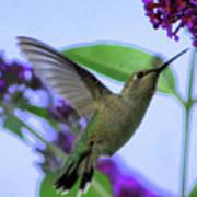 Hummingbird In Butterfly Bush Art Print
