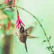 Hummingbird In Flight Sucking On A Juicy Pink Flower Art Print