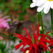 Hummingbird Mid Flight Art Print