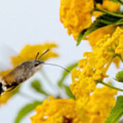 Hummingbird Moth Art Print by Jason Christopher