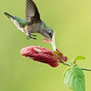 Hummingbird Nose Dive Art Print