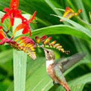 Hummingbird Snacking Art Print