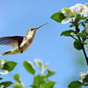 Hummingbird Springtime Art Print