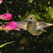 Hummingbird Visits Flowers In Raining Day Art Print