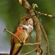 Hummingbird With An Itch Art Print