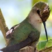 Hummingbird With Small Nest Art Print