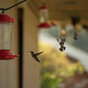 Hummingbirds In Flight Art Print