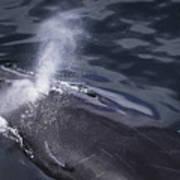 Humpback Whale Blowing Art Print