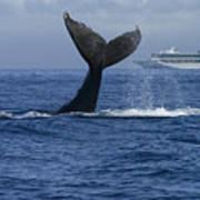 Humpback Whale Tail Lobbing Near Cruise Art Print by Flip Nicklin
