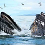 Humpback Whales In Juneau, Alaska Art Print