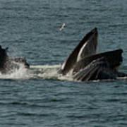 Humpback Whales Megaptera Novaeangliae Art Print