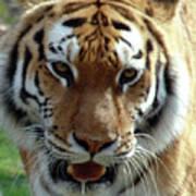 Hungry Tiger Art Print