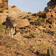 Hunting wolf Art Print