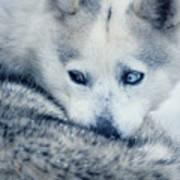 Husky Curled Up Art Print