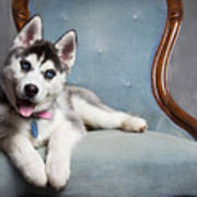 Husky Puppy II Art Print