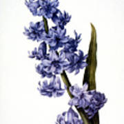 Hyacinth Art Print by Granger