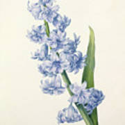 Hyacinth Art Print by Pierre Joseph Redoute