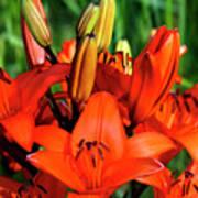 Hybrid Lilies Art Print