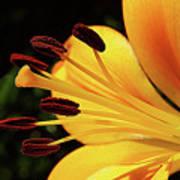 Hybrid Lily Art Print