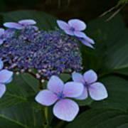 Hydrangea Blue In The Garden Xii Art Print