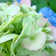 Hydrangea Flowers Art Prints Floral Gardens Gliclee Baslee Troutman Art Print