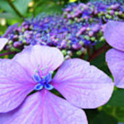 Hydrangea Flowers Art Prints Hydrangea Garden Giclee Art Prints Baslee Troutman Art Print