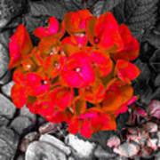 Hydrangea In Carmine Art Print